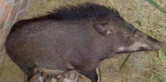 Chọn giống lợn mán