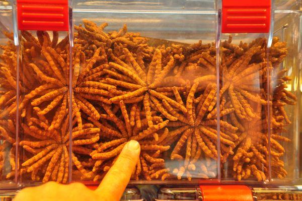 Đông trùng hạ thảo có nguồn gốc Việt Nam.
