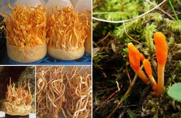 Đông trùng hạ thảo được nuôi trồng nhân tạo của Việt Nam.