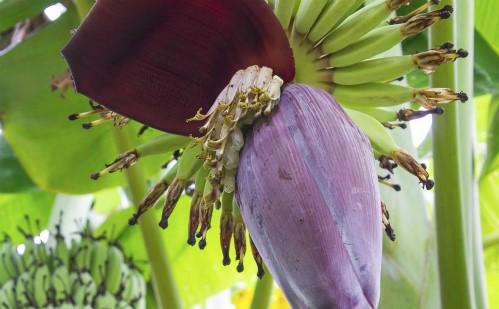Dùng hoa chuối thường xuyên để điều trị tiểu đường