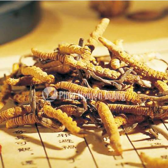Đông trùng - loại thảo dược tự nhiên tốt cho sức khỏe