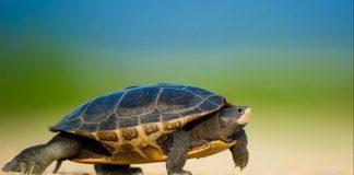 Thấy rùa trong mơ báo hiệu điềm gì?