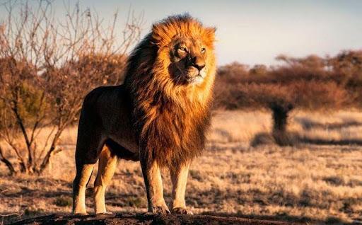 Mơ thấy sư tử đánh con gì và có điềm lành hay dữ?
